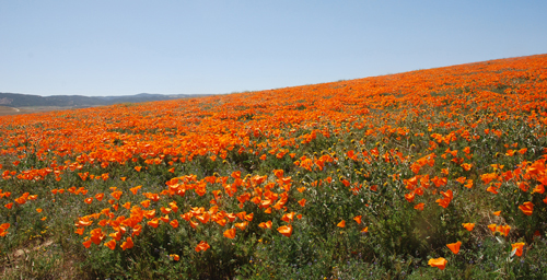 Antelope Valley Poppy Preserve