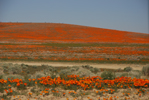 California Poppy Preserve