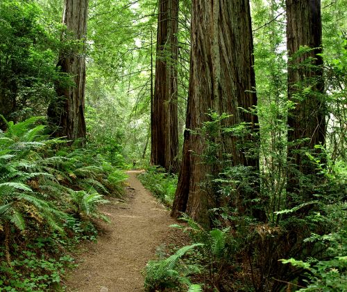 California Redwood Forest Trail